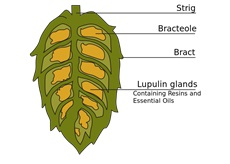 Hops can reduce plaque buildup.